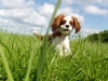 Cavalier King Charles Spaniel, 9 months, blenheim